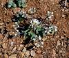 AZ-F-Thlaspi montanum 2020.3.28#6520.3. Wild Candytuft. Prescott Valley,Arizona.