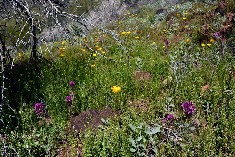 AZ-DS-Flora scene 2019.3.10#005, Castilleja exserta and Eschscholzia species. Near Lake Pleasant Arizona.
