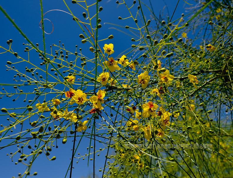 AZ-TS-Parkinsonia aculeata 2018.4.20#161, the Mexican Paloverde. San Xavier Mission Arizona.