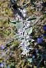 NV-TS-Hyptis emoryi 2020.4.21#8055.3. Desert Lavender. Near Chrisymas Tree Pass in the Newberry Mountains Nevada.
