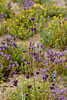 AZ-F-Salvia columbariae 2019.3.20#011, the Chia. Sonoran Desert south of Tucson.