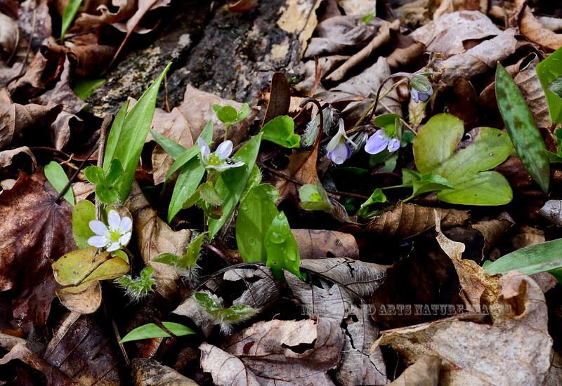 PA-F-Hepatica nobilis var. obtusa 2016.5.1#586.3. Round-lobed Hepatica. Flower petals vary from lilac blue to pure white and has a very distinctive three lobed leaf. Pike County, Pennsylvania.