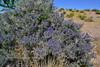 NV-TS-Psorathamnus arborescens 2020.5.4#1073.3. Indigo Bush. North Shore of Lake Mead Nevada.