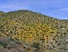 AZ-DS-Desertscape 2019.4.1#059. Eschscholzia Poppy growing among a grove of Saguaro Cactus. Gila County Arizona.