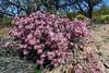 AZ-TS-Calliandra eriophylla 2018.4.6#157, the Fairy Duster. Madera Canyon Arizona.
