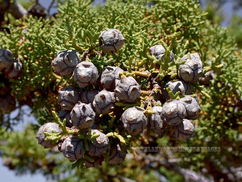 AZ-TS-Cupressus arizonica 2018.5.5#783, the Arizona Cypress. Chiracahua Mountains Arizona.
