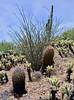 AZ-CTS-Ferocactus cylindraceus 2020.5.22#3095.1X. Compass Barrel cactus. Hills north of Aguila Arizona.