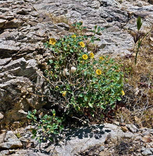 NV-F-Physalis crassifolia 2020.4.21#8128.4. Yellow Groundcherry. Christmas Tree Pass, Newberry Mountains Nevada.
