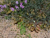 AZ-F-Astragalus wootoni 2019.4.9#181, the Halfmoon Milkvetch. Near Mount Graham South of Safford Arizona.