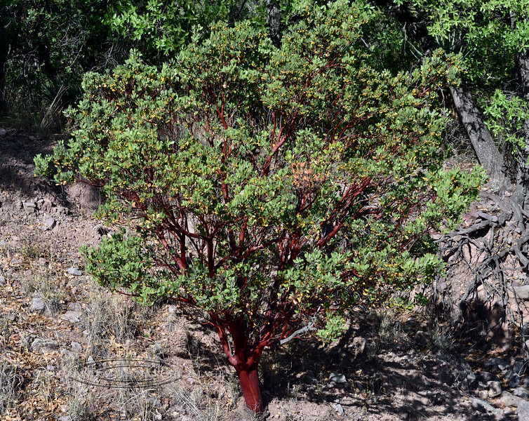 AZ-TS-Arctostaphylos pungens 2019.6.5#230.3. The Pointleaf or Mexican Manzanita. Coronado Monument on the Mexican border south of Hereford Arizona.