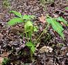 PA-F-Arisaema triphyllum 2016.5.14#073.5. Jack-in-the-Pulpit. Bridgeton Township, Bucks County Pennsylvania.