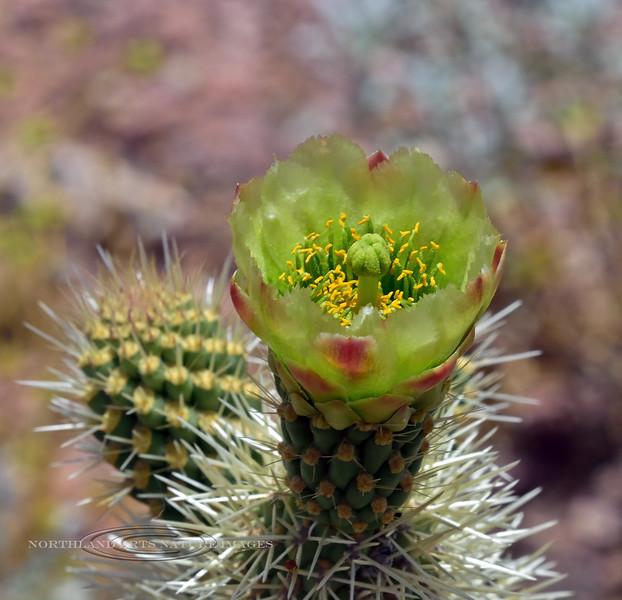 AZ-CTS-Cylindropuntia bigelovii 2020.5.22#9969.3. A Teddy Bear Cholla blossum. On a hill above route 71, north of Aguila Arizona.