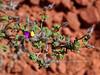 AZ-TS-Dalea Formosa 2019.4.19#267, the Featherplume. Red Rock State Park, Arizona.