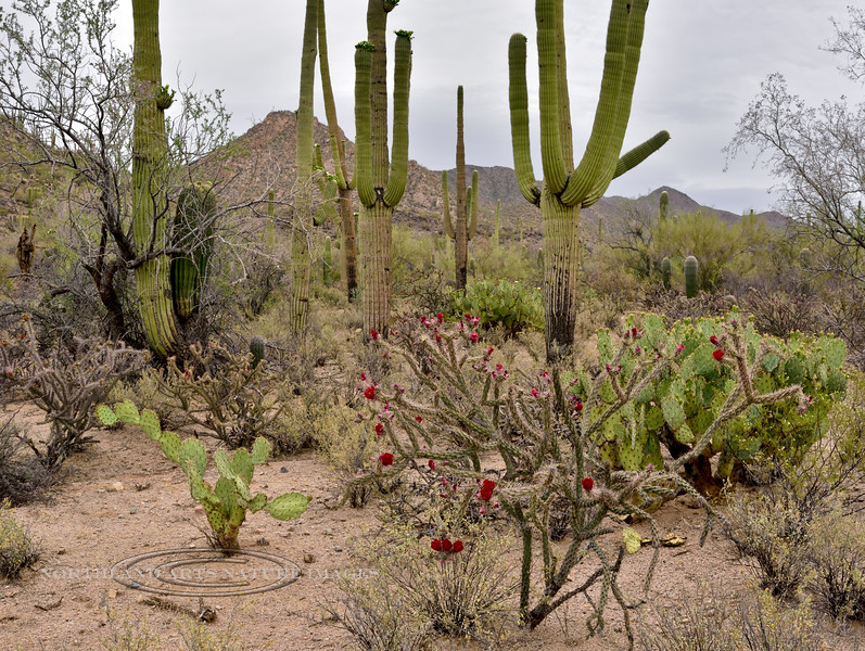AZ-CTS-Cylindropuntia acanthocarpa 2018.4.1#470.  A Buckhorn Cholla. Sonoran Desert Arizona.