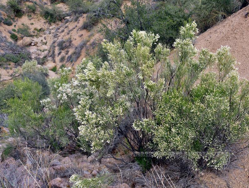 AZ-TS-Baccaris sergloides 2018.11.14#010, the Desert Baccaris or Desert Broom. East of Roosevelt, Arizona.