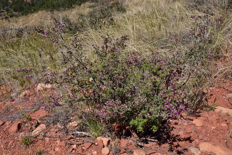 AZ-TS-Dalea Formosa 2019.4.19#611, the Featherplume. Red Rock State Park, Arizona.