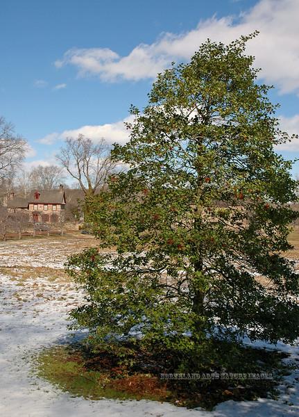 PA-TS-Ilex opaca 2005.2.25.057.3. American Holly tree. Route 32 near Point pleasant, Pennsylvania.