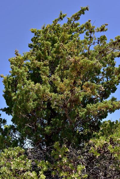 AZ-TS-Cupressus arizonica 2018.5.5#773, the Arizona Cypress. Chiricahua Mountains Arizona.