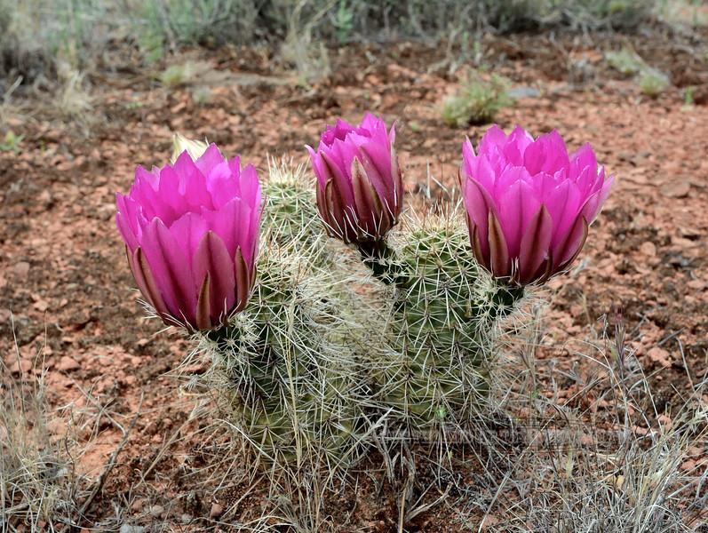 AZ-CTS-Echinocereus fendleri 2016.4.25#211, the Fendler's Hedgehog cactus. Red Rock State Park Arizona.
