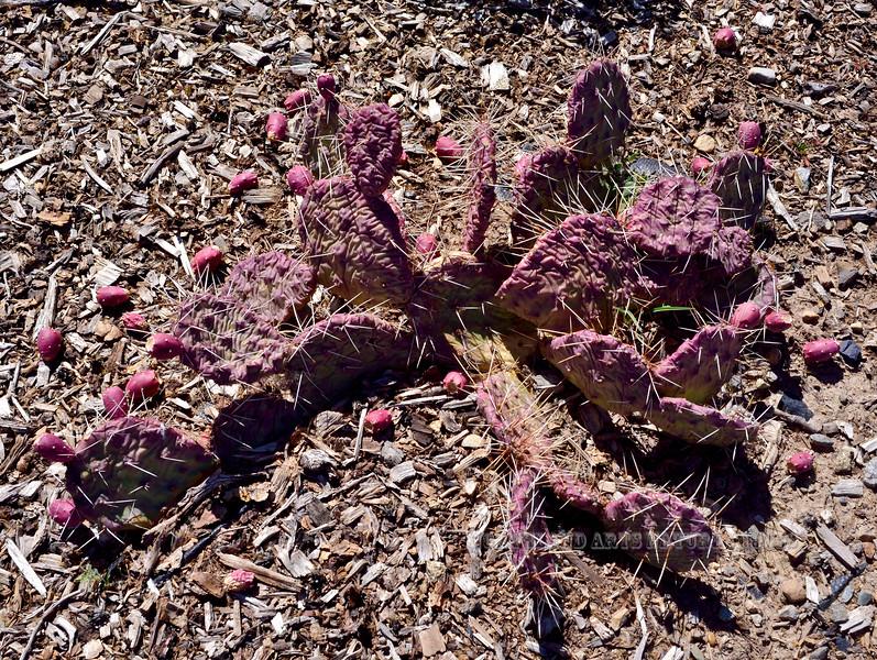 CO-CTS-Opuntia Polycantha 2017.10.10#827. Mesa Verde, Colorado.
