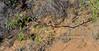 AZ-TS-Acacia constricta 2018.4.12#917, the White Thorn Acacia. RT191, East of Safford Arizona.