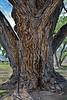 AZ-TS-Populus fremontii 2021.4.15#6250.3. Same tree as the last 2 images.