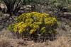 AZ-TS-Ericameria laricifolia 2018.5.15#943, the Turpentine Bush. Madera Canyon Arizona.