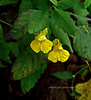 PA-F-Impatiens pallida 2020.9.28#2487.3. Pale Jewelweed or Touch-me-not. Narrowsville south of Kintnersville Pennsylvania.