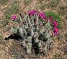 AZ-CTS-Opuntia polycantha var. erinacea 2020.5.5#1762.3. Mohave Prickly Pear cactus. Detrital Valley west of Dolan Springs Arizona.