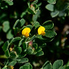 AZ-F-Acmispon strigosus 2019.3.29#134, the Desert Lotus. Tonto Basin Arizona.