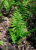 PA-Fern-Osmunda cinnamomea 2012.4.24#114.2. Cinnamon Fern. Bowman;s Hill, Bucks County Pennsylvania.