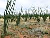 AZ-AOY-Fouquieria splendens 2018.4.7#180, Ocotillo. An unusual large group along Madera Canyon road, Pima County Arizona.