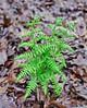 PA-Fern-Dennstaedtia punctilobula 2016.5.9#503.6. Hay-scented Fern. Bowman's Hill, Bucks County Pennsylvania.