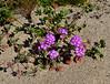 AZ-F-Abronia villosa 2020.3.5#7544.2. Desert Sand Verbena east of Yuma Arizona.