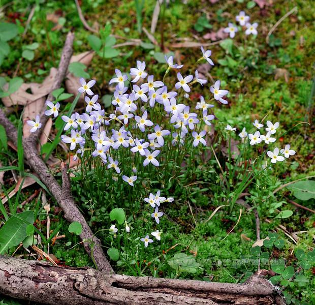 PA-F-Houstonia caerulea,formerly hedyotis 2008.4.21#094, the Quaker ladies. Bowman's Hill, Bucks County Pennsylvania.