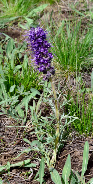 WY-F-Phacelia sericea 2019.6.20#1685. The Silky Phacelia. Mount Washburn, Yellowstone Park Wyoming.