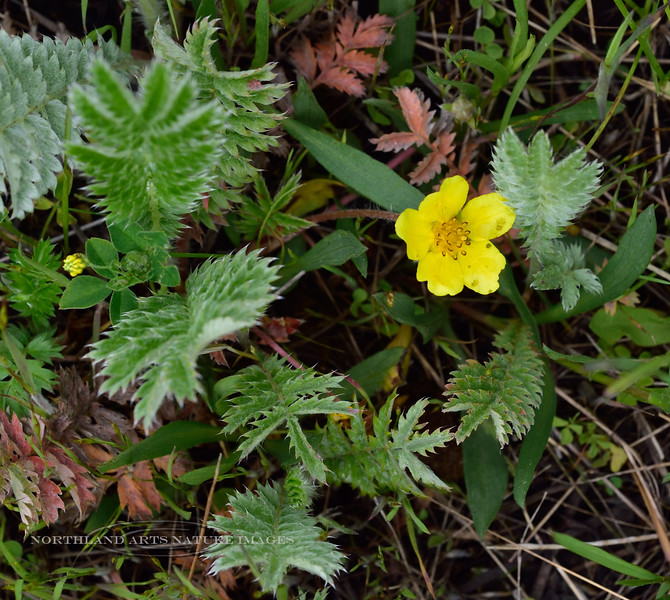 WY-F-Potentilla anserina 2019.6.20#1350, Silverweed. West of Lamar Canyon, Yellowstone Park Wyoming.