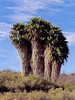 CA-TS-Washingtonia filifera 2007.2.25#058.4. The Desert Palm. Mohave Desert, Klinefelter California.