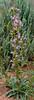 UT-F-Penstemon species, maybe Utahensis 2019.6.17#254. Grand Staircase-Escalante area, Utah.