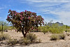 AZ-CTS-Cylindropuntia spinosior 2018.5.1#125. A Cane Cholla. Sandario Road, Pima County Arizona.