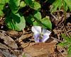 PA-F-Viola canadensis 2008.4.18#060.3. Canadian Violet. Bowman's Hill, Bucks County Pennsylvania.