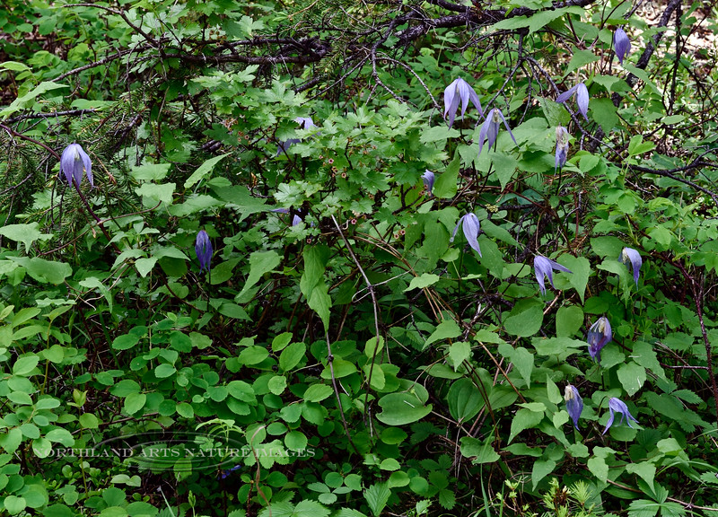 WY-F-Clematis occidentalis 2019.6.20#1466, the Western Blue Virgin's Bower growing among some Bristly Black Gooseberry. Between Tower Junction and Mammoth, Yellowstone Park Wyoming.