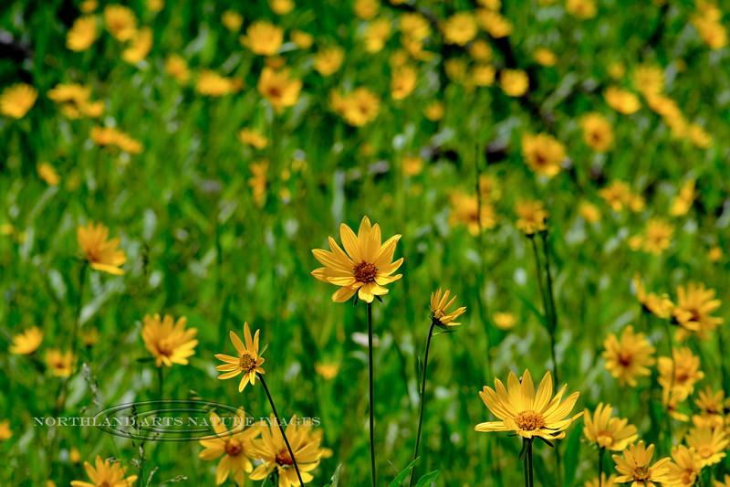 WY-F-Helianthella uniflora 2018.7.4#4017, the Little Mountain Sunflower. Yellowstone Park Wyoming.