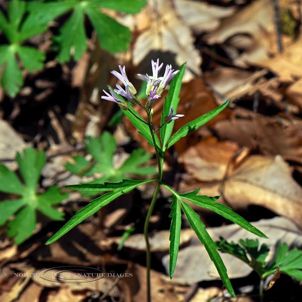 PA-F-Cardamine concatenata 2008.4.24#075, the Cut-leaf Toothwort. Bowman's Hill, Bucks County Pennsylvania.