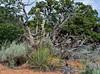 UT-AOY-Yucca harrimaniae, Harriman's Yucca 2019.6.17#335. RT89, Sand Hills area, Utah.