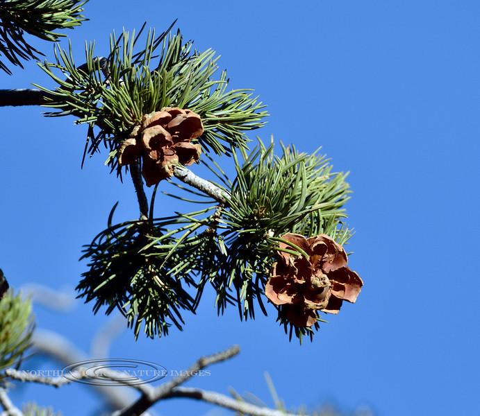 AZ-TS-Pinus edulis 2017.11.27#365.2. The Two-needle Pinion Pine. Kaibab Forest, Grand Canyon Arizona.