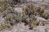 AZ-CTS-Grusonia species 2018.5.6#1000. Old West Highway route 70, East of Globe Arizona.