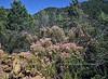 AZ-TS-Fallugia paradoxa 2017.6.12#056.1Xx.  The Apache Plume in seed. Mingus mountain Arizona.