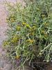 AZ-CTS-Cylindropuntia arbuscula 2018.5.1#460. Arizona Pencil Cholla full of blooms. Sonoran Desert Arizona.