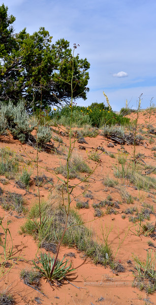 UT-TS-Unknown tall plant 2019.6.17#317. Small Reddish maroon flowers in clusters at branch ends. See next image. RT89, Sand Hills area, Utah